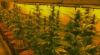 Cannabis-Plantage / Foto: LPD NÖ