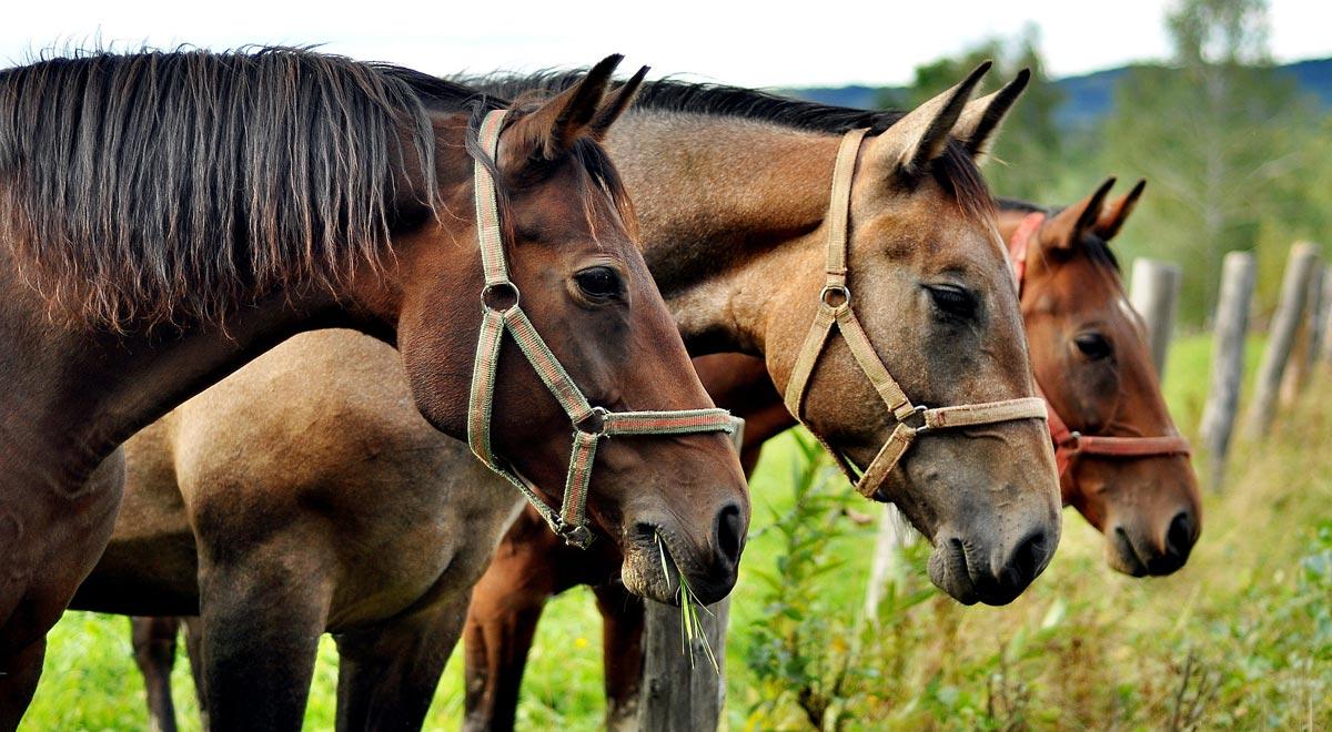 Pferde auf der Koppel / Foto: Jerzy Górecki / Pixabay